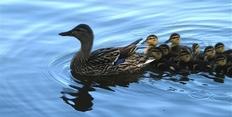 Kachní rodina - Kachní závod